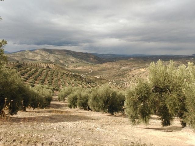 Situación fitosanitaria del cultivo del olivar