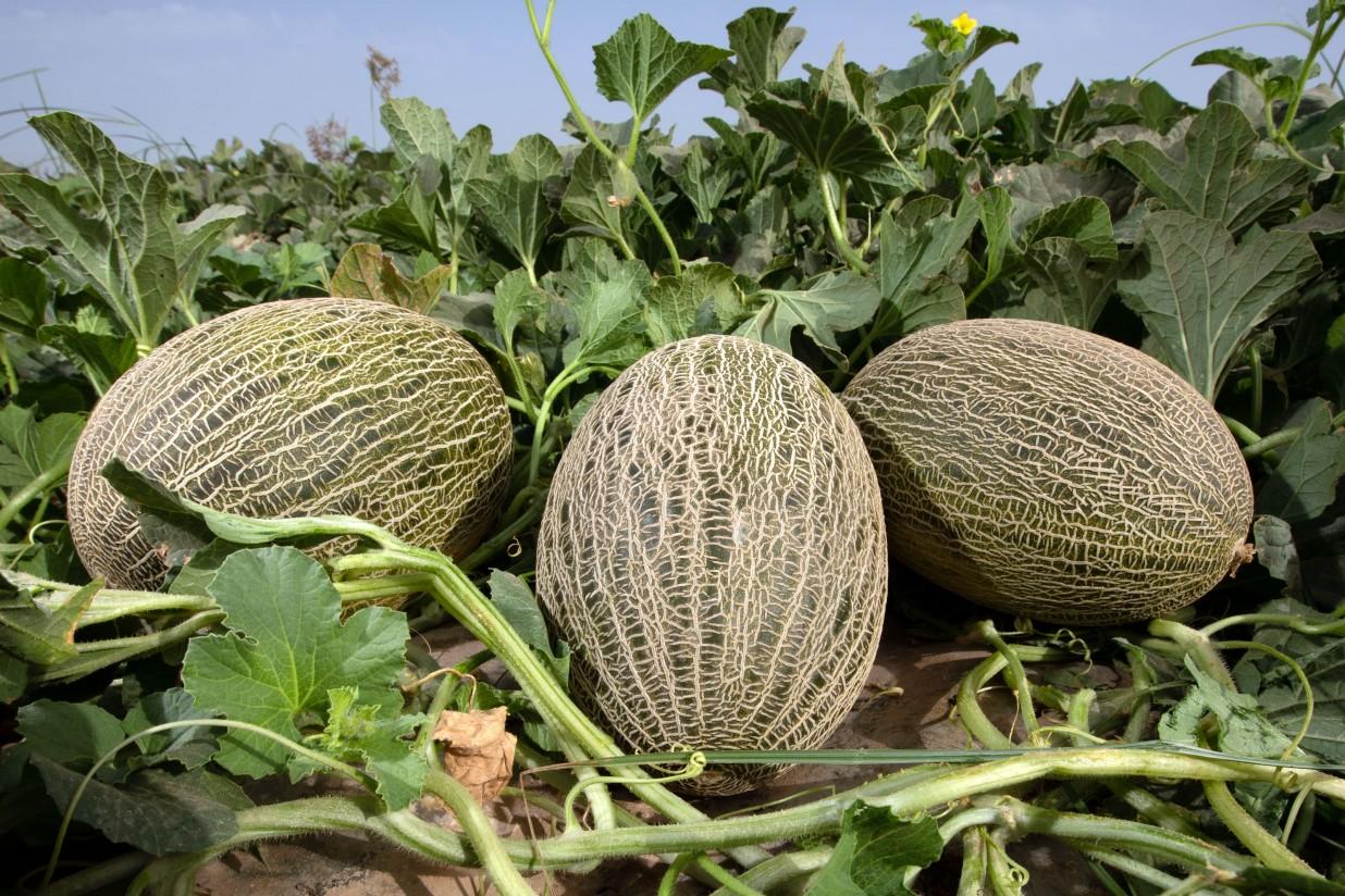 Ceferino, Arroyo y Loire, novedades en el catálogo de melón de Fitó