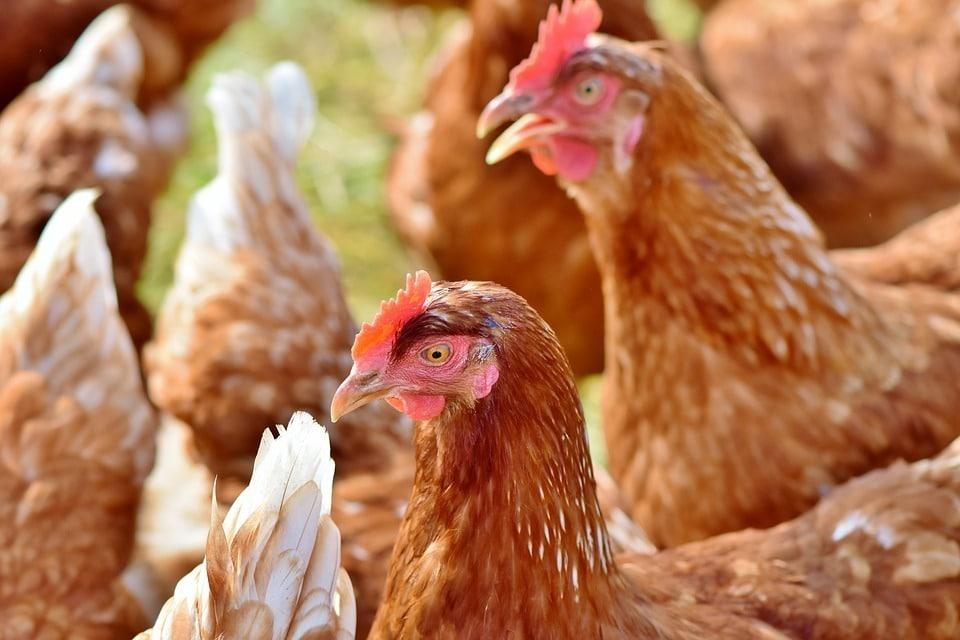 Castilla y León aumenta las ayudas para la vacunación en avicultura de puesta