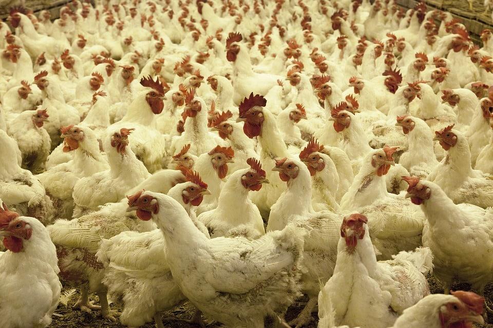 Investigan cómo controlar las infecciones en granjas avícolas sin antibiótico