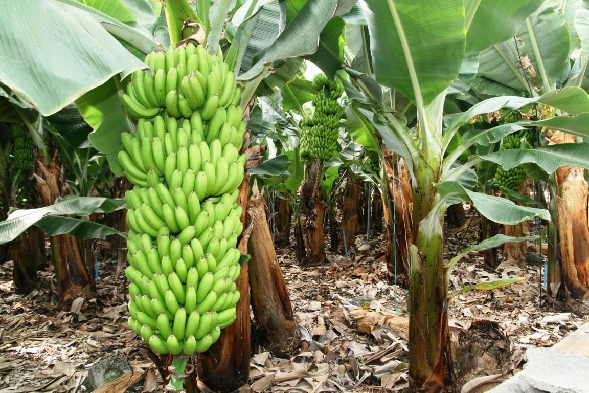 El viento deja pérdidas de 3.890.000 kg de plátanos de Canarias