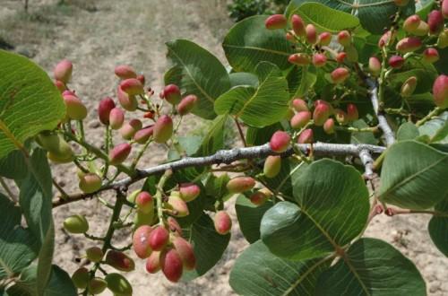 Exportación de nutrientes en una parcela de pistachero