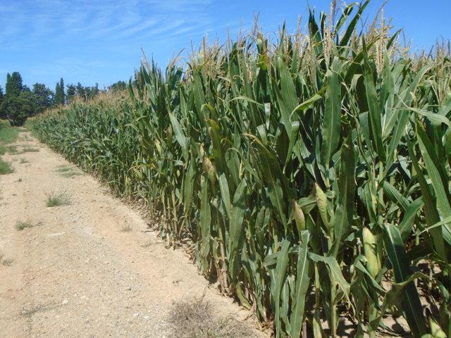 Riego por goteo subterráneo en cultivos de maíz y alfalfa