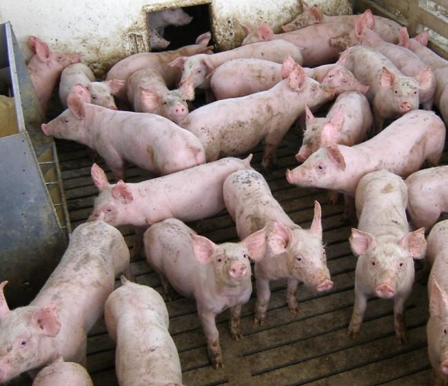 La CE autoriza el uso de proteína animal, incluidos insectos, en la elaboración de piensos para no rumiantes