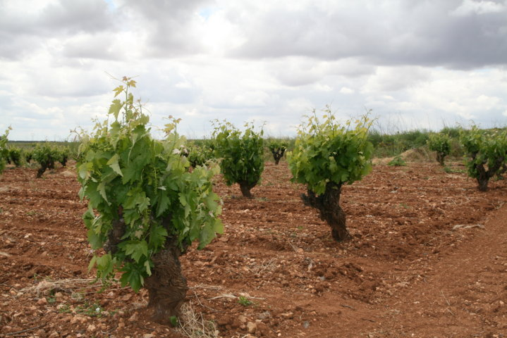 Balance fitosanitario de la vid en Castilla-La Mancha