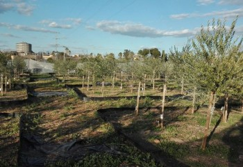 Evaluación de selecciones de olivo para la resistencia a verticilosis