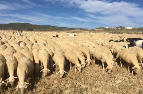 Sector ovino, Ternasco de Aragón y asociacionismo agrario