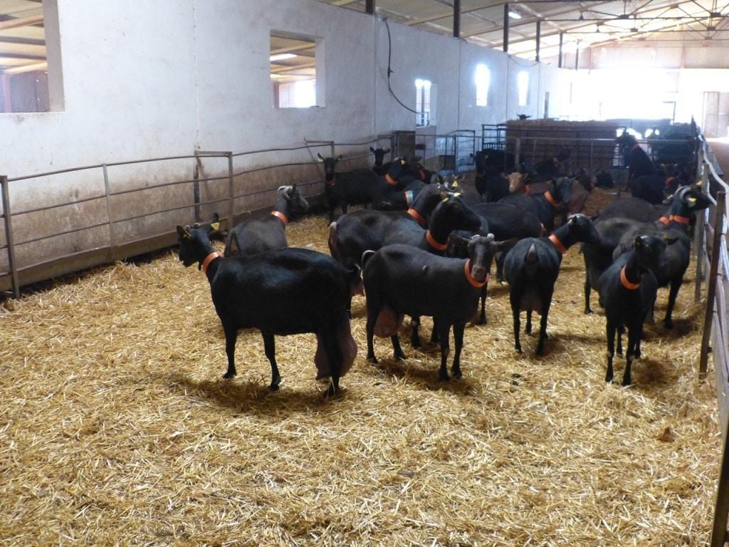 Importantes descensos de producción de leche de oveja y de cabra en febrero