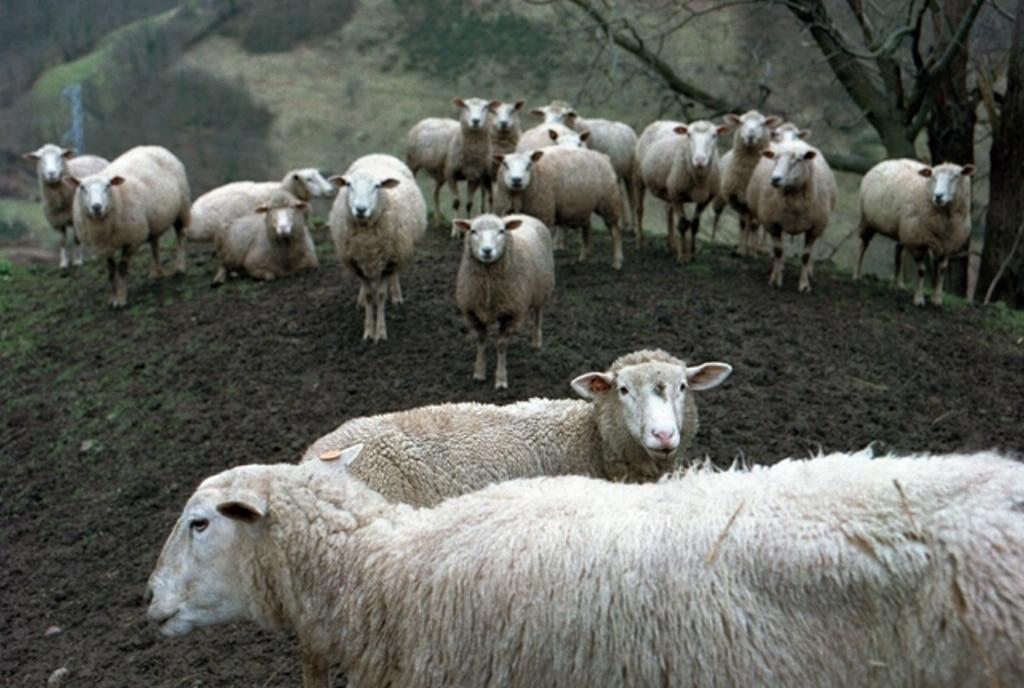 Importante caída de las entregas declaradas de leche de oveja y de cabra a industria en enero