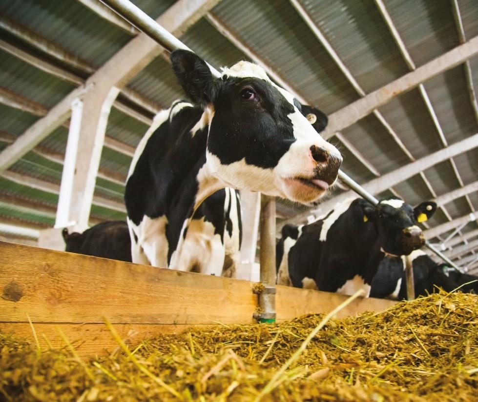 El heno de alfalfa como alimento proteico en el vacuno de leche