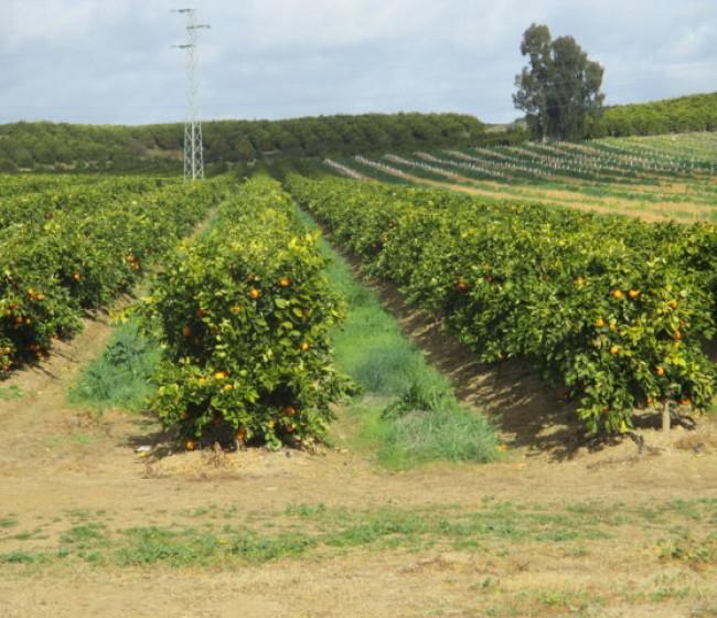 Evaluación preliminar de plantaciones superintensivas de cítricos