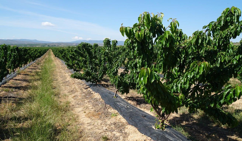 FEPEX prevé un descenso de la producción nacional de cereza en la actual campaña de 2019