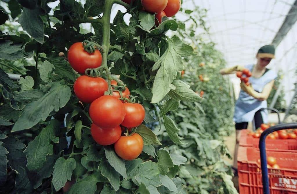 Los tomates españoles para consumo en fresco ya pueden exportarse a Canadá