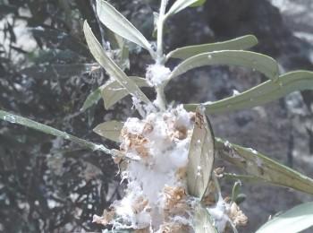 Estrategias de control para daños inusuales del algodoncillo en olivar