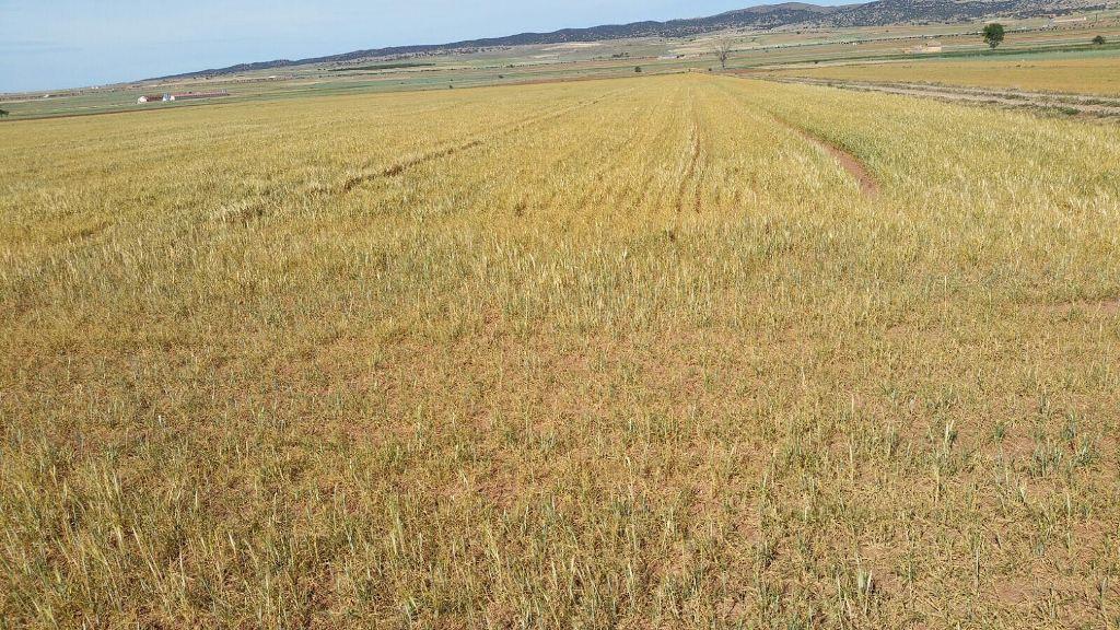 La siniestralidad por sequía podría afectar ya a más de 700.000 ha de cereal asegurado