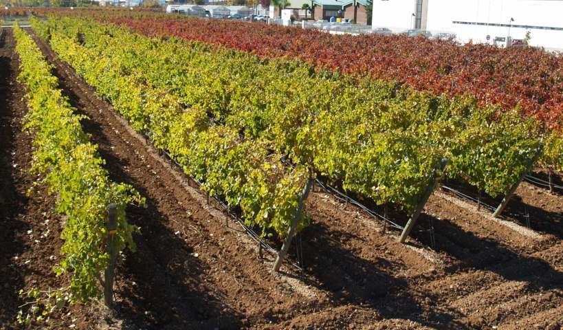 Respuesta productiva y calidad  de la uva en riego por goteo aéreo y subterráneo