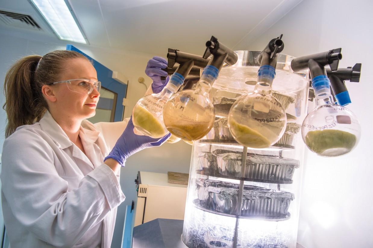 Olmix Group propone el uso de las algas marinas en cerdas lactantes