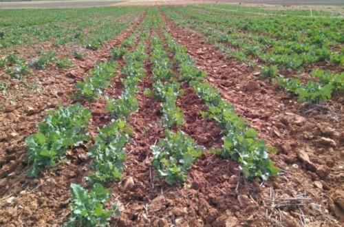 La colza, más que un cultivo difícil, un cultivo técnico