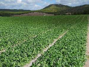Proexport denuncia que la falta de autorización de un herbicida en espinaca lastra la producción española