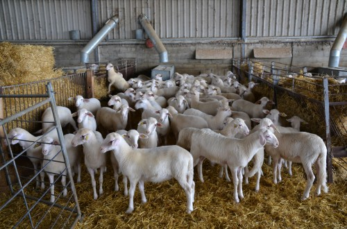 El ganado ovino en España y los sistemas de explotación