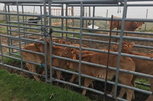 Bioseguridad en el transporte del ganado vacuno y de lidia