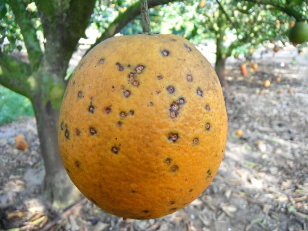 La UE vuelve a incorporar la «mancha negra» citrícola en la lista de plagas prioritarias