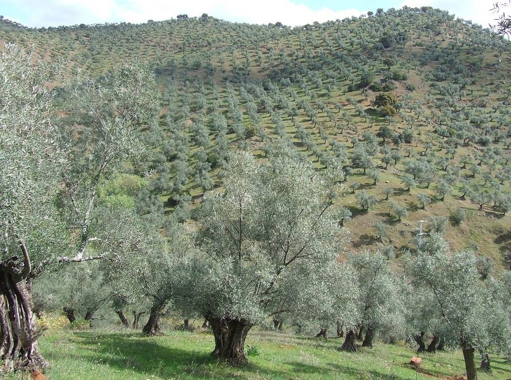 El precio en origen del AOVE italiano es 2,6 veces superior al del oliva virgen extra español