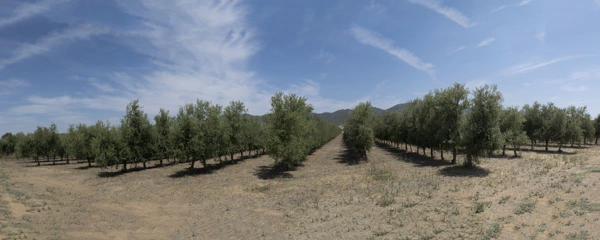 El sistema Todolivo Olivar en Seto presenta un balance positivo de huella de carbono