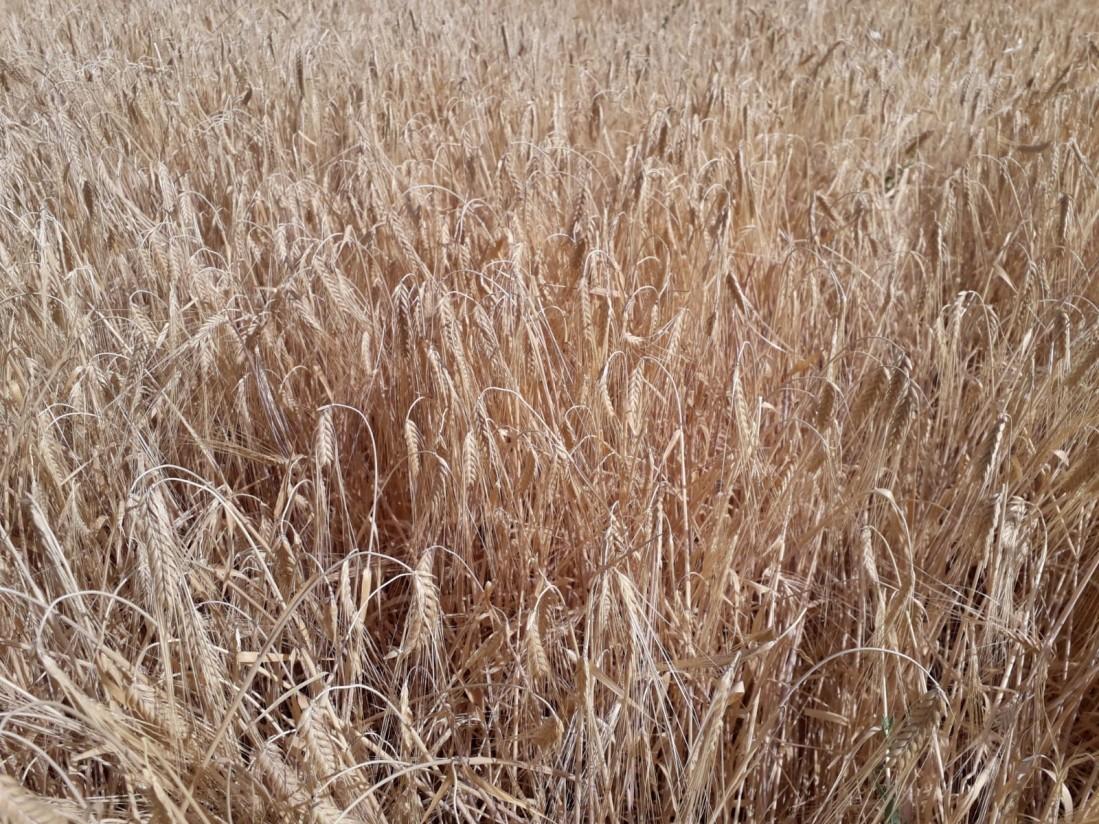 Agroseguro inicia primer pago de 42,5 M€ por siniestros de sequía en cereal de invierno y leguminosas