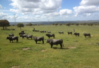 Problemas respiratorios en ganado bovino de lidia