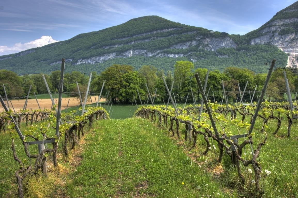 El MAPA autoriza la plantación de 4.747,5 ha de nuevo viñedo en 2019, un 73,5% de lo solicitado admisible