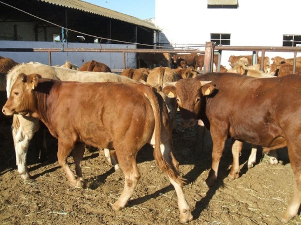 El sector bovino español activa los programas para el uso razonable de antibióticos