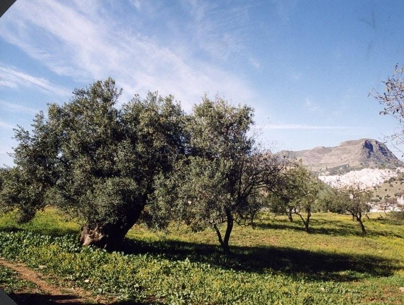 Cooperativas rebaja a solo 1,1 Mt la producción nacional de aceite de oliva para 2019/20