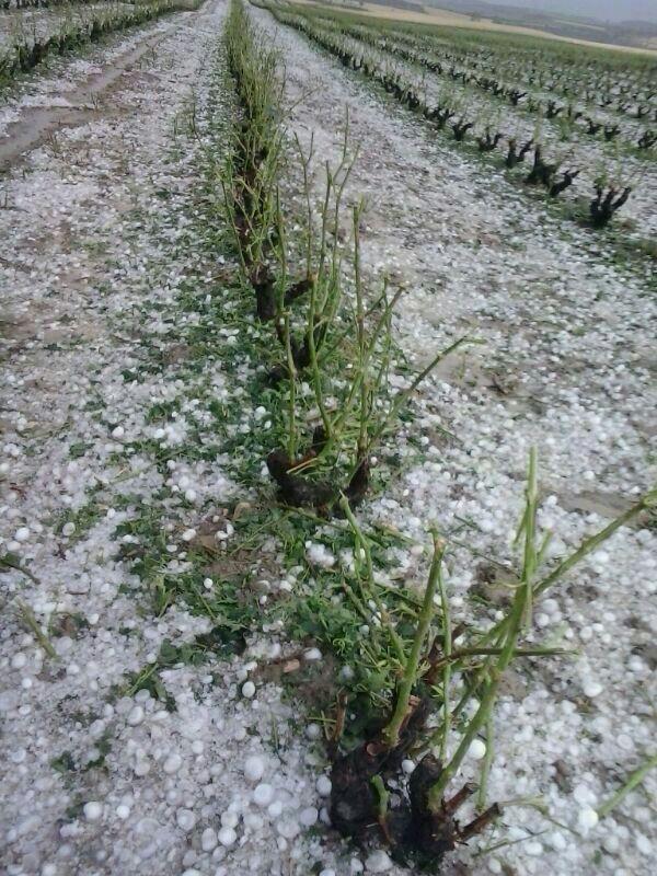 Agroseguro adelanta el pago de 1,35 M€ a los viticultores con daños por pedrisco en julio