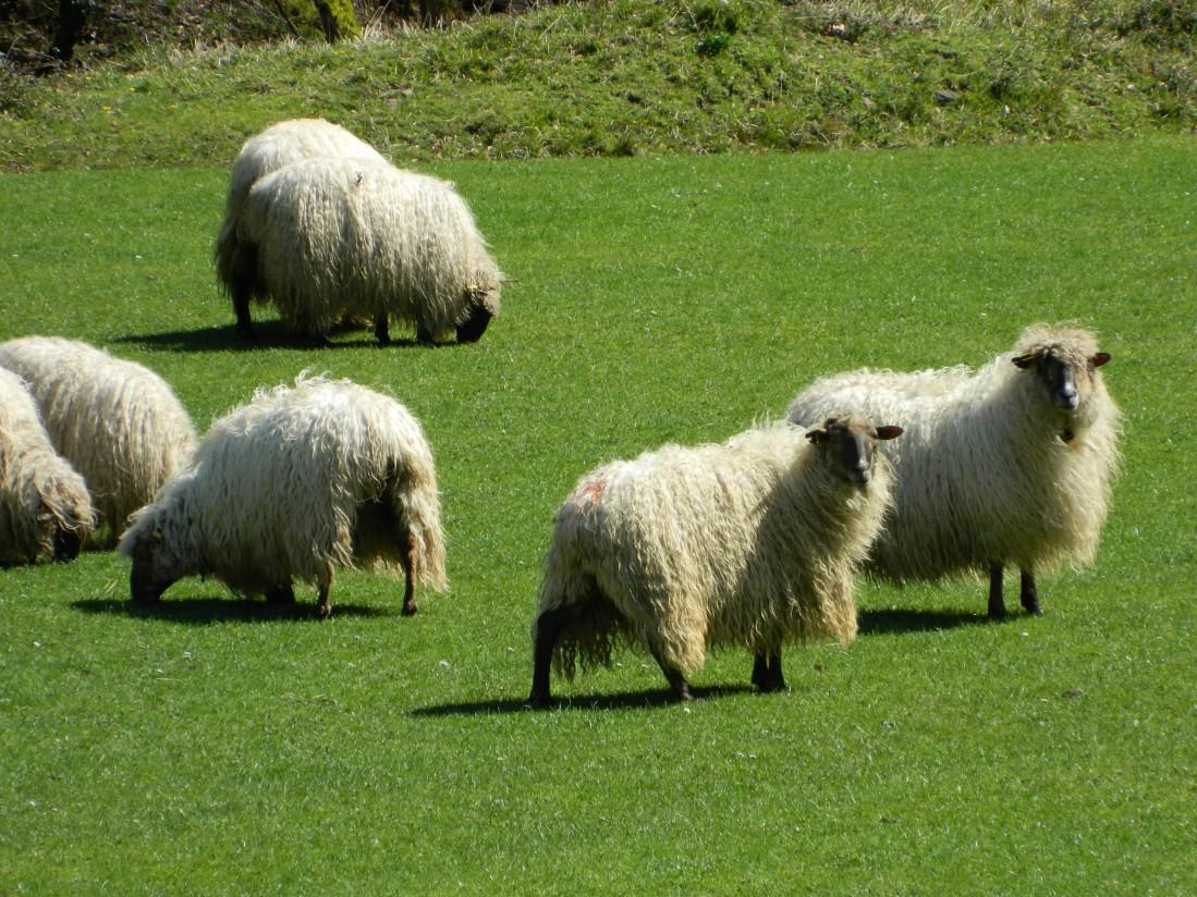 SheepNet identifica los retos para mejorar la productividad del ganado ovino