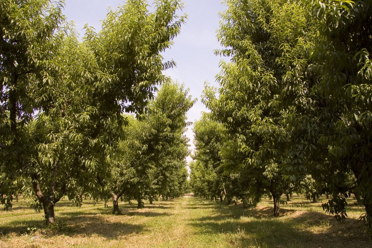 COAG: fruta de hueso más barata al consumidor y ruinosa para el agricultor