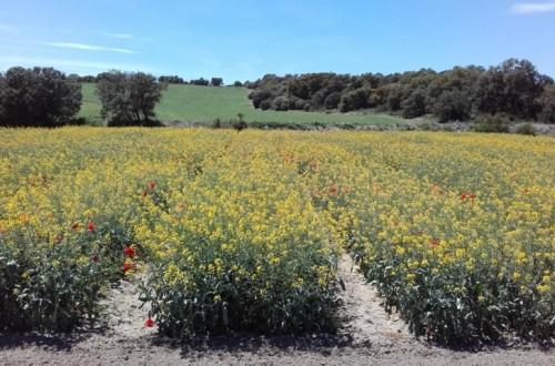 Evaluación de las nuevas variedades comerciales de colza de invierno
