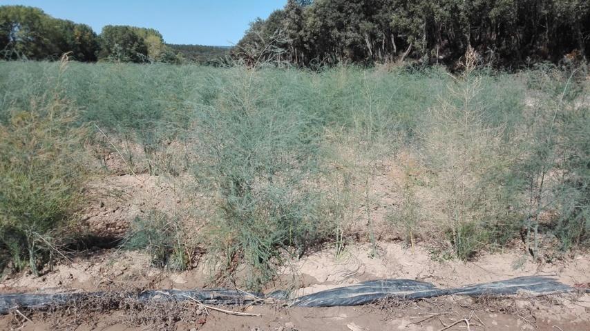 Síndrome del decaimiento del espárrago en la zona norte y centro de España
