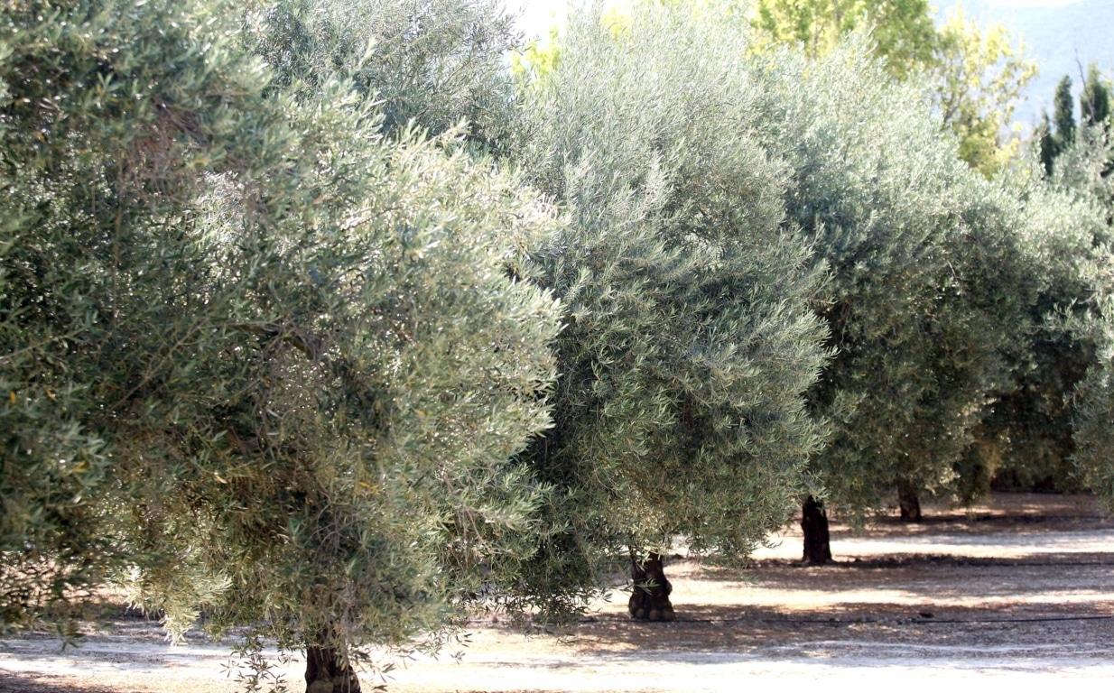 Cooperativas prevé alrededor de 3 Mt, un 5% menos, de producción mundial de aceite de oliva en 2019/20