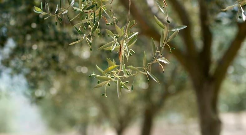 Francia detecta sus primeros olivos con Xylella en la Costa Azul