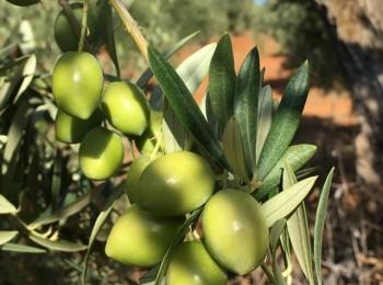 Mitos y realidades del momento óptimo de la recolección en olivo