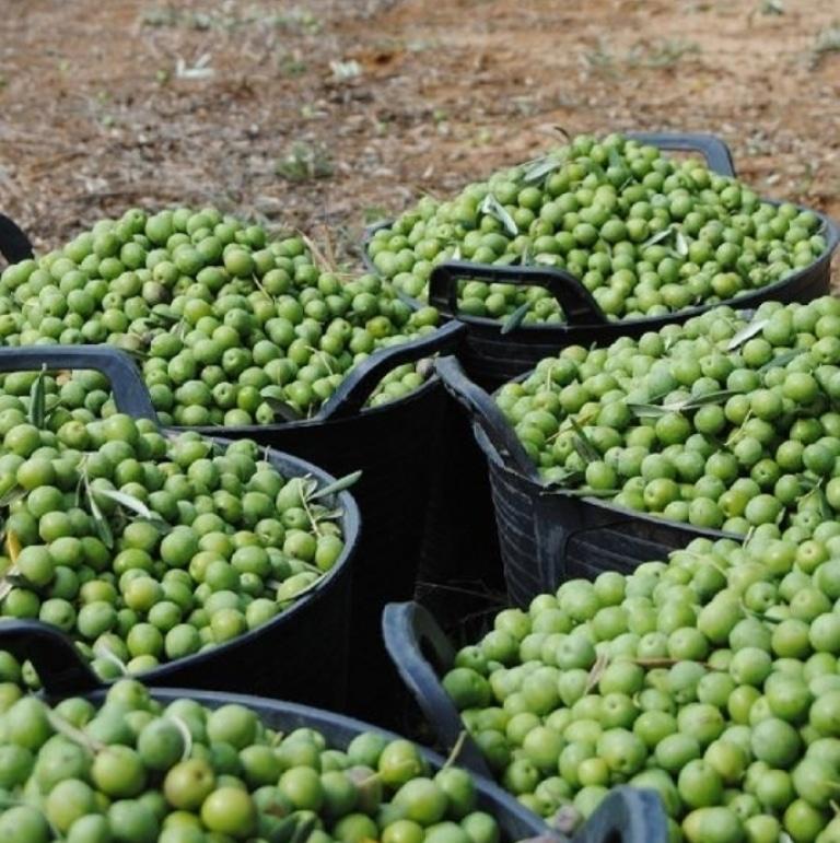La cosecha de aceitunas de mesa, con 480.000 t aforadas en 2019/20, las más baja en una década