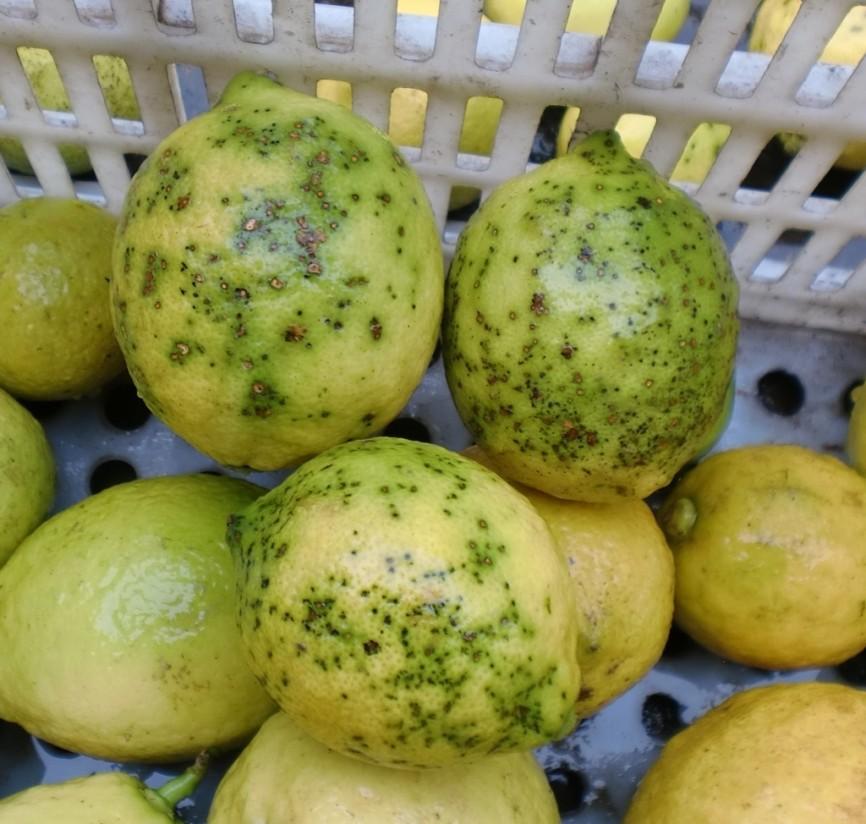 La Xylella, el «greening» y la «mancha negra» en la lista CE de las 20 plagas vegetales prioritarias de cuarentena