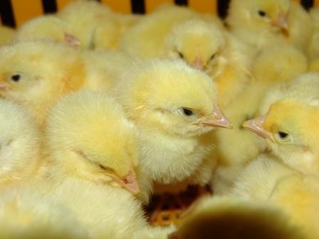 El IRTA, referente europeo de bienestar animal de aves y conejos