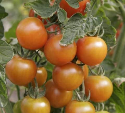 Ensayos de fertirrigación con distintos niveles de salinidad del agua en tomate