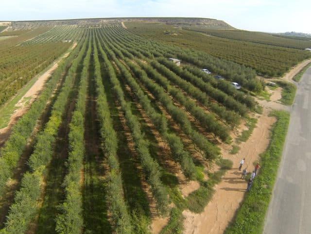 Efecto del riego en la  producción de aceite en sistemas superintensivos de Arbequina
