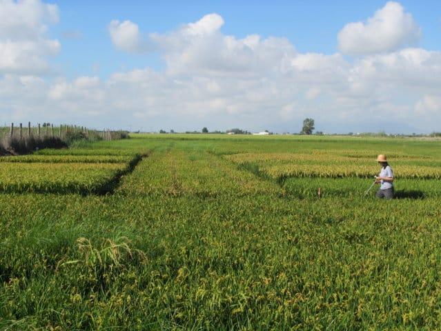 Impacto de la salinidad en las principales variedades de arroz cultivadas en España