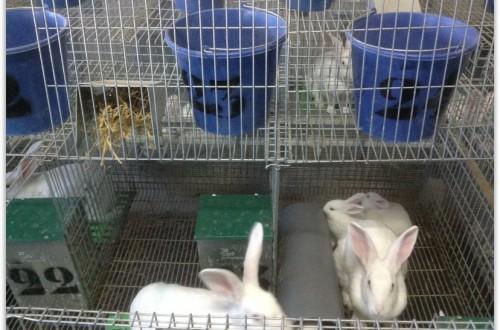Bienestar y alojamiento en conejas reproductoras