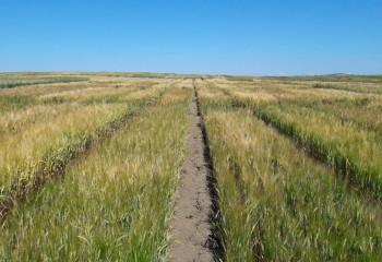 Evaluación de nuevas variedades comerciales de cebada y trigo de primavera, trigo duro y avena en España