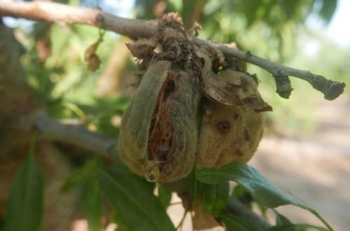 Antracnosis, una nueva enfermedad que amenaza el cultivo del almendro